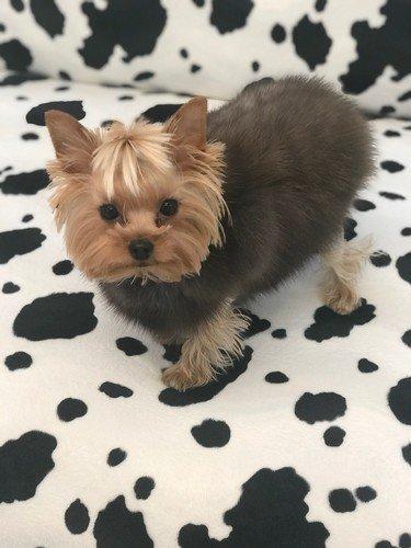 Собаке Лены Лениной подарили шубку из соболя